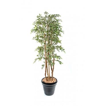 Ficus Troncs Multiples Natasja Semi-Naturel Panaché