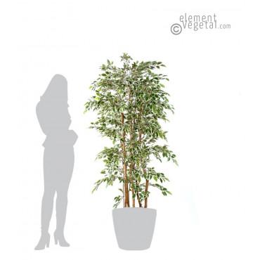 Ficus Troncs Multiples Natasja Semi-Naturel Panaché 180 cm