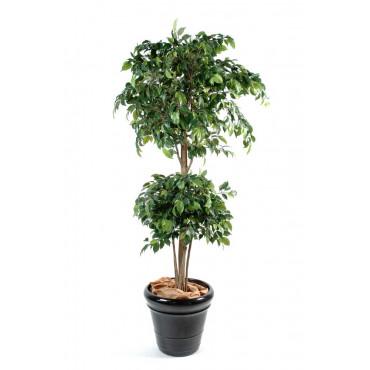Ficus Double Boule Semi-Naturel