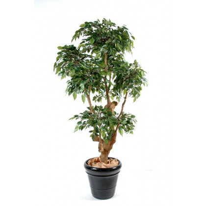 Ficus Natasja Semi-Naturel