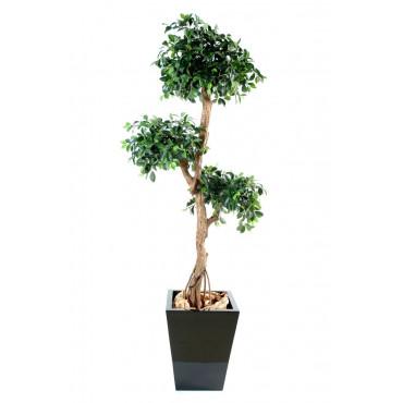 Ficus Retusa Semi-Naturel
