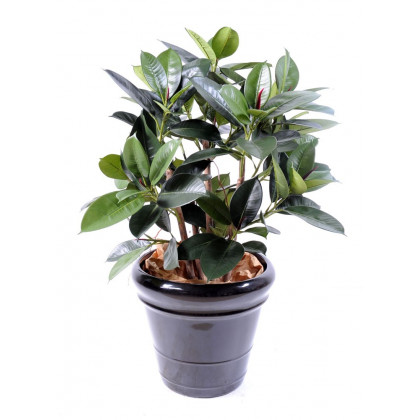 Ficus Elastica Semi-Naturel