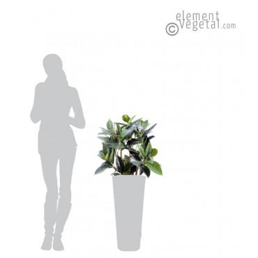 Ficus Elastica Semi-Naturel 90 cm