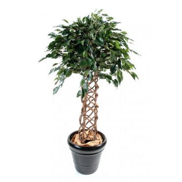 Ficus Cage Semi-Naturel
