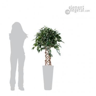 Ficus Cage Semi-Naturel 140 cm