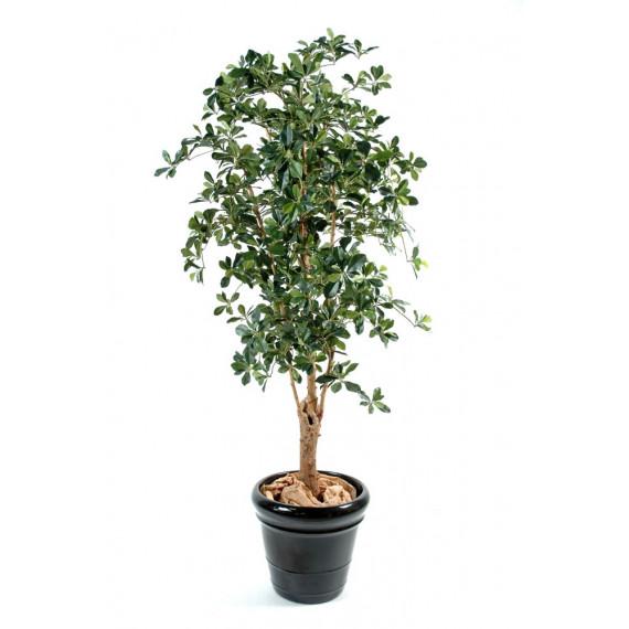 Ficus Oriental Tronc noueux Semi-Naturel