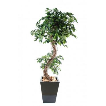 Ficus Lianes Entremêlées Semi-Naturel
