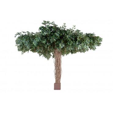 Ficus Parasol Semi-Naturel