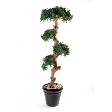 Podocarpus Nuage Semi-Naturel
