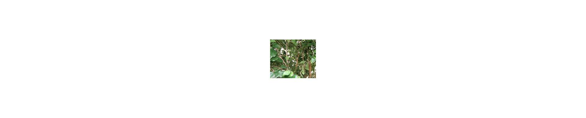 Ficus & feuillu Artificiel